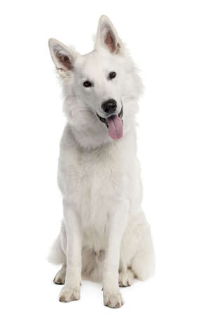 White Shepherd Dog (9 months old) in front of a white background Stock Photo - 4712502