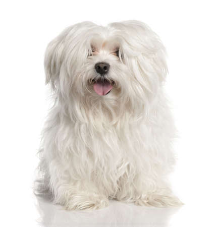 maltese dog: maltese dog in front of A white background Stock Photo