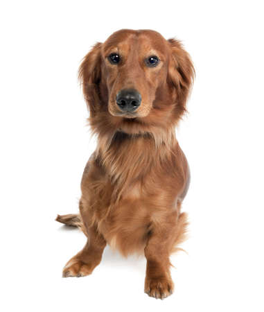 Dachshund (15 months old) in front of a white background photo