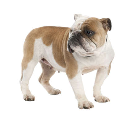 english Bulldog (6 years old) in front of a white background Stock Photo - 4712742