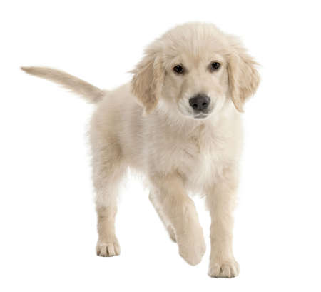 Golden Retriever puppy (4 mmonths old) in front of a white background photo
