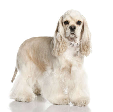 Amerivan Cocker Spaniel (1 year old) in front of a white background