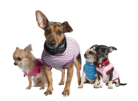 minuscule: group of three chihuahua