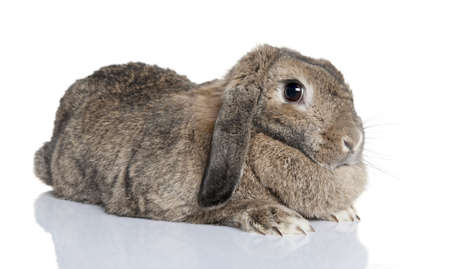 lop lop rabbit white: Lop rabbit (4years old) in front of a white background