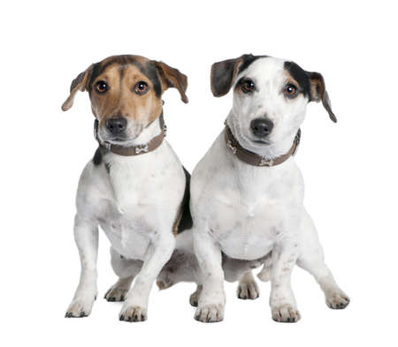 couple of two Jack russells (2 and 3 years old) in front of a white background photo