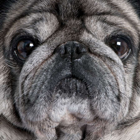 wrinkely: Close-up on a pug (8 years) in front of a white background