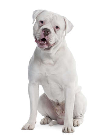 old english Bulldog (2 years old) in front of a white background photo