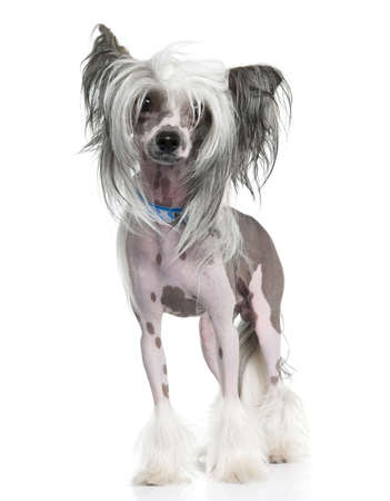 lapdog: Chinese Crested Dog - Hairless (16 months) in front of a white background