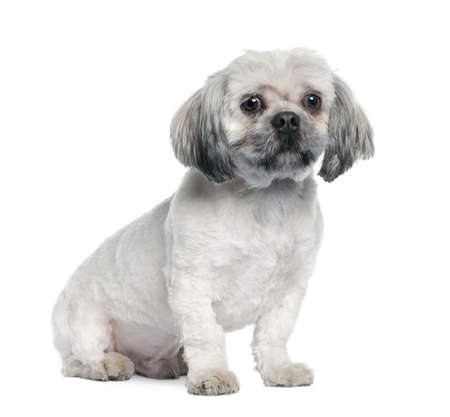 Lhasa Apso (18 months) in front of white a background photo