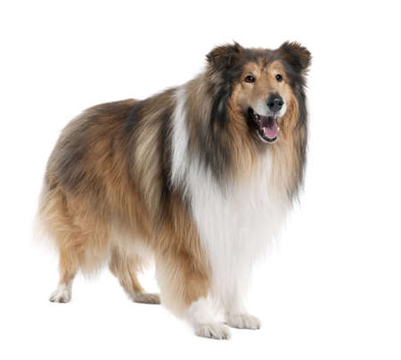 sheepdog: Collie (4 years old) in front of a white background Stock Photo