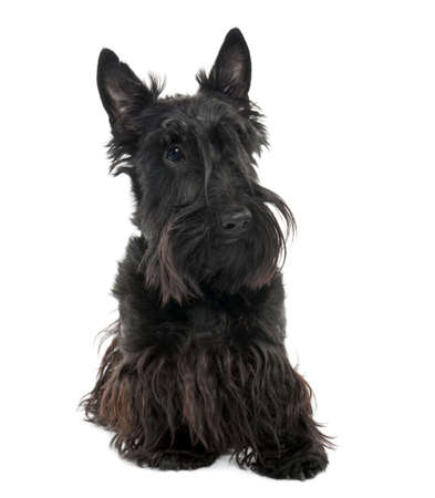 Scottish Terrier (16 months old) in front of a white background photo