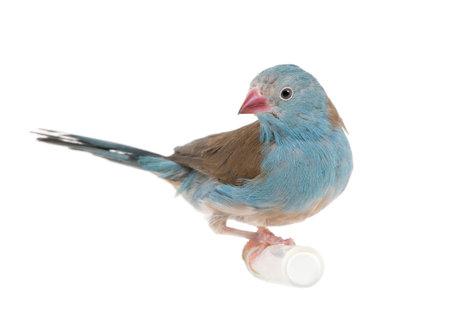 passerine: Blue-breasted-Cordon bleu - angolensis Uraeginthus di fronte a uno sfondo bianco
