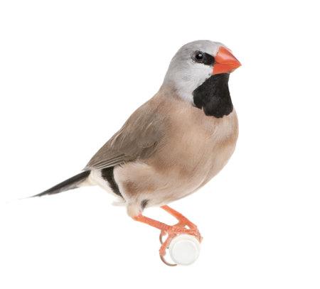 passerine: Black-throated Finch - Poephila cincta di fronte a uno sfondo bianco