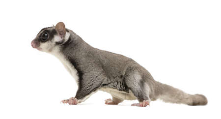 marsupial: sugar glider - Petaurus breviceps in front of a white background