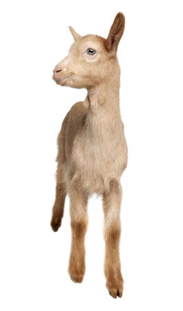 Young brown Goat (2 months old) in front of a white background photo