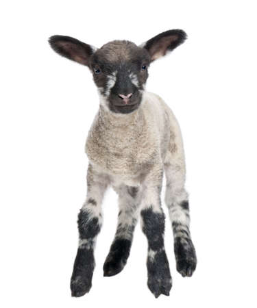 Black and white Lamb facing the camera (15 days old) in front of a white background Stock Photo