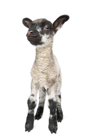 Black and white Lamb facing the camera (15 days old) in front of a white background Stock Photo - 4727151