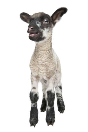 Black and white Lamb facing the camera (15 days old) in front of a white background photo