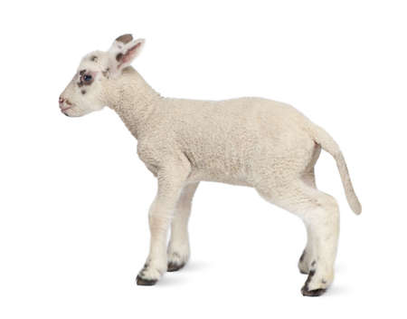 Side view of a Black and white Lamb (10 days old) in front of a white background photo