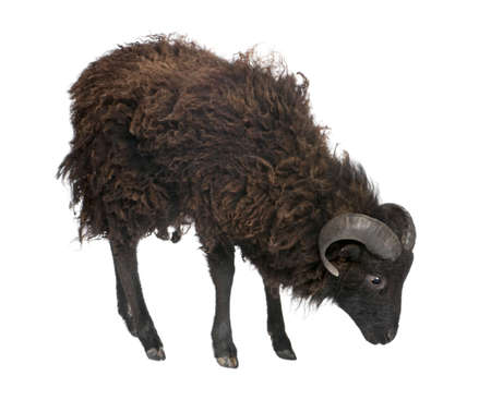 Black shhep - Ouessant ram (4 years old) in front of a white background