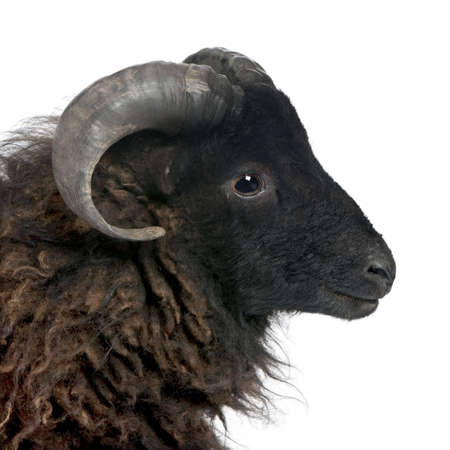 suffolk: Black shhep - Ouessant ram (4 years old) in front of a white background
