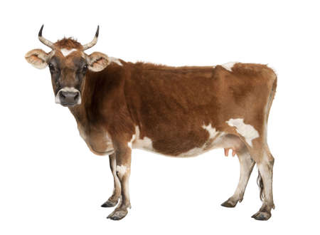 brown Jersey cow (10 years old) in front of a white background Stock Photo - 4727189