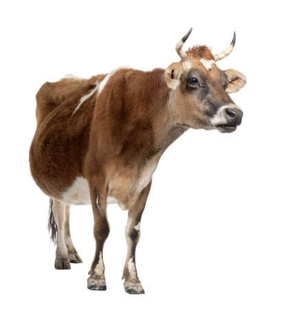 brown Jersey cow (10 years old) in front of a white background Stock Photo - 4727184