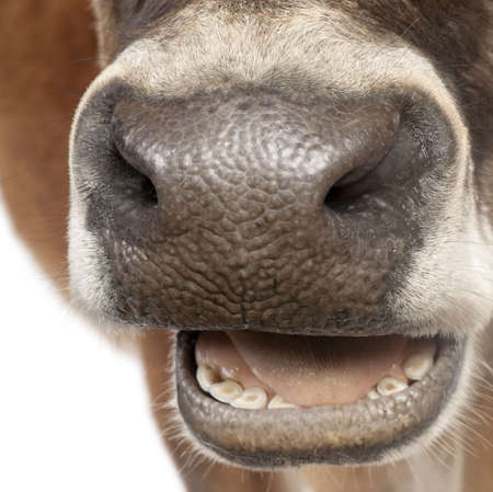 10 years old: close-up on a snout of a Jersey cow (10 years old) in front of a white background Stock Photo