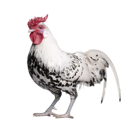 poultry animals: a Silver Spangled Hamburg rooster (1 year old) in front of a white background