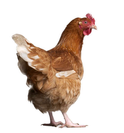 hens: brown hen (2 years old) in front of a white background
