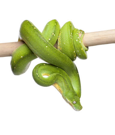 snake: green tree python looking down - Morelia viridis (5 years old) in front of a white background