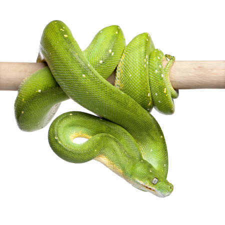 green tree python looking down - Morelia viridis (5 years old) in front of a white background photo