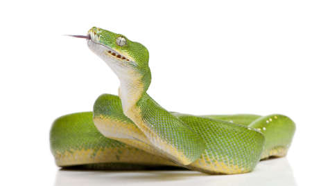 attacking: green tree python - Morelia viridis (5 years old) in front of a white background