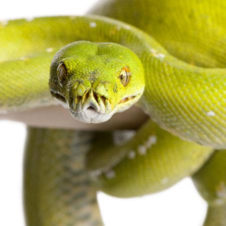animal tongue: albero verde python - Morelia viridis (5 anni) di fronte a uno sfondo bianco