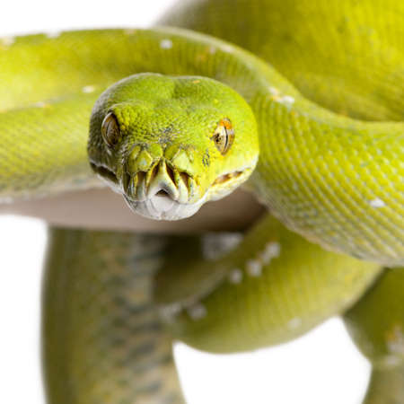 green tree python - Morelia viridis (5 years old) in front of a white background 스톡 콘텐츠