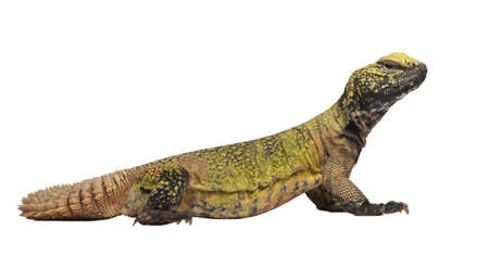 Uromastyx acanthinura (4 years old) in front of a white background photo
