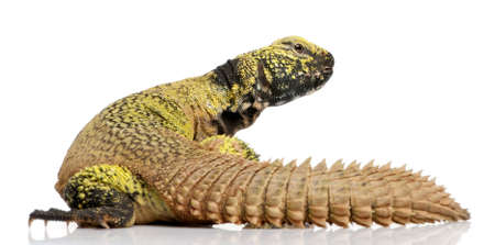 Uromastyx acanthinura (4 years old) in front of a white background Stock Photo - 4727136