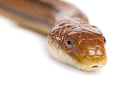 rat snake - elaphe obsoleta (4 years old) in front of a white background photo