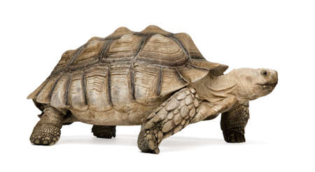 sulcata: African Spurred Tortoise also know as African Spur Thigh Tortoise - Geochelone sulcata in front of a white background