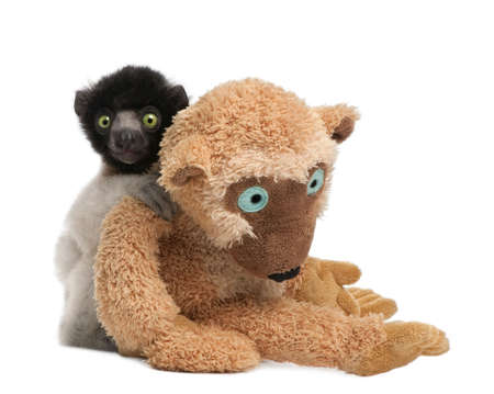 young Crowned Sifaka with his teddy bear  - Propithecus coronatus (3 months) in front of a white background (species endemic to Madagascar) photo