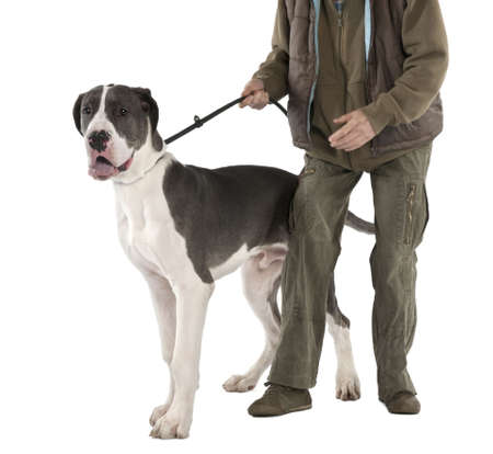 deutsche dogge: Great Dane puppy on a leash (6 months old) in front of a white background Stock Photo