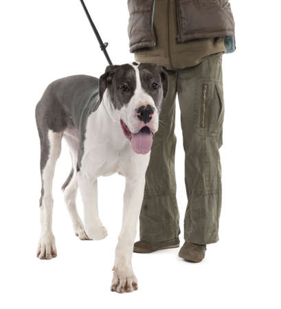 animal behavior: Great Dane puppy on a leash (6 months old) in front of a white background Stock Photo
