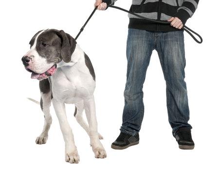 perros vestidos: Gran Dane cachorro con una correa (6 meses) delante de un fondo blanco Foto de archivo