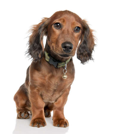 Dachshund puppy (5 months old) in front of a white background photo