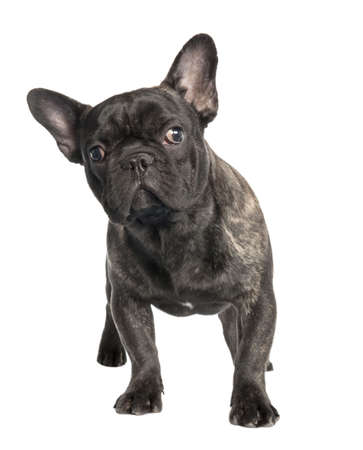 black french Bulldog in front of a white background  photo