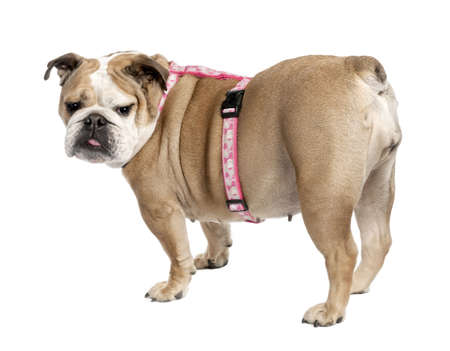 stitting: english Bulldog (7 years old) in front of a white background Stock Photo