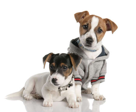 two Jack russell puppy (3 months old) in front of a white background photo