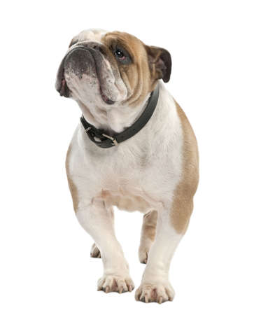 ugliness: english Bulldog (6 years old) in front of a white background Stock Photo