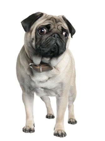 wrinkely: pug (2 years old) in front of a white background  Stock Photo