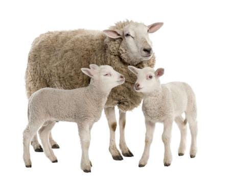 a Ewe with her two lambs in front of a white background photo